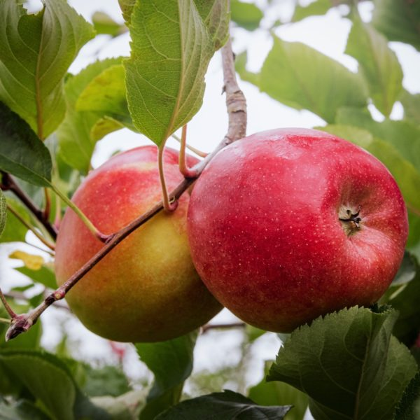 Atypix - SIca Gerfruit Swing Bio - 24 (WEB)